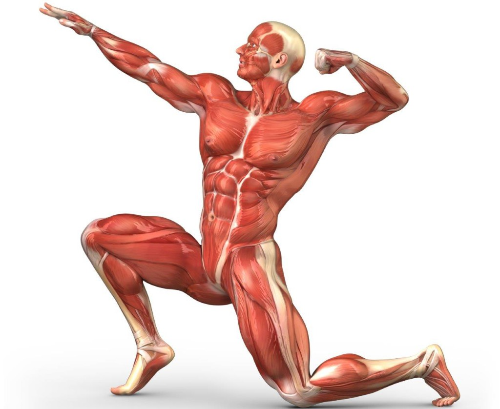 Human muscular system pictures